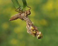 Geburt einer Libelle / ***