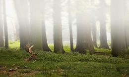 DAMHIRSCH / Nebel im NATURPARK HOHE MARK. Für mich gab es kein halten mehr. Langsam gewöhnte der Hirsch sich an mich. So konnte ich meine Fotos schießen.