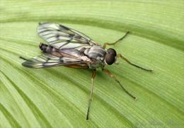 Räuber / Schnepfenfliegen Männchen