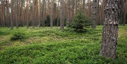 WALD in MASUREN / Natur findet man in Masuren (Polen) immer wieder. Hier einer der vielen Wälder.