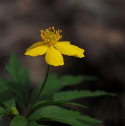 Gelbes Buschwindröschen / Buschwindröschen an der Isar, normal sind die Buschwindröschemn weiß aber hin und wieder kann man die gelbe abart finden.