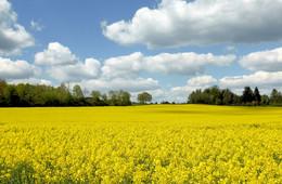 Frühlingsfarben / Rapsfeld und Wolkenhimmel