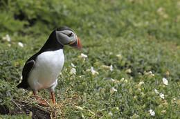 PAPAGEIENTAUCHER / Diesen schönen Vogel konnte ich auf meinem Besuch auf der Insel Skelling Michael / Irland fotografieren. Die Papageientaucher kommen dort nur zum brüten hin. Sie leben ansonsten nur auf dem Atlantik.