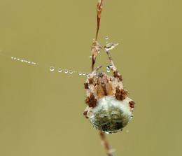 Vierfleck / Vierfleck Kreuzspinne im Geltinger Moor