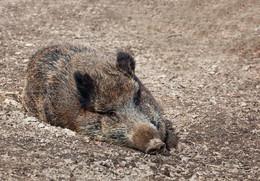 WILDSCHWEIN / Ein Wildschwein im Reinhardswald. Es war schon ein komisches Gefühl, diesem Eber so nahe zu sein !