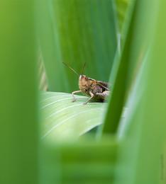 Heuschrecke im Gras saß / ***