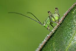 """Grün in Grün / Hätte ich fast mit einer Blattlaus verwechselt:) Die Larve der """"Punktierten Zartschrecke""""."""