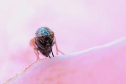 pink world / Je kleiner die Fliege, desto interessanter die Augen:)