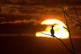 Kormoran im Sonnenuntergang / Im Sonnenuntergang