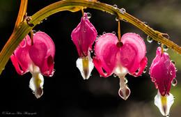 Weine nicht wenn der Regen fällt , tamm , tamm ....... / Tränende Herzen , ja so richtig zum April .