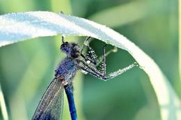Libelle / Bald fliegen sie wieder... Wildlife-Focus-Stacking.