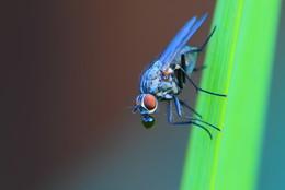 Bubble Gum Fly / Fliege beim Verdauen.