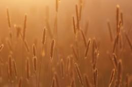 Wiese im Gegenlicht / Ähren während des Sonnenuntergangs