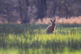 R(H)asensprenger / Ein Hase bei der Morgendusche im Moor.