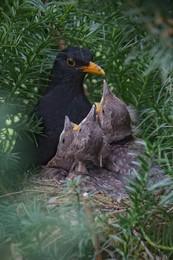 Vogelnest / Amselpapa mit Nachwuchs