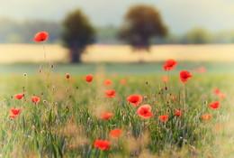 poppies and trees / Aufgenommen in Arnsberg/Sauerland