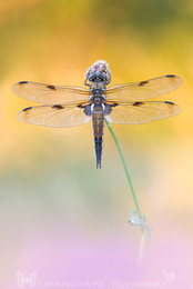 Vierfleck / Vierfleck - Libellula quadrimaculata