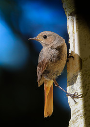 | Black Redstart | / wildlife