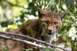 Luchs / Im Tierfreigehege Nationalpark Bayerischer Wald aufgenommen