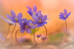 Dancing Stars / Leberblümchen Familie im Frühling 2017 Dauert nicht mehr lange und sie blühen wieder.