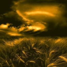 befor the storm / Fotografie eines Getreidefeldes