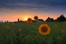 Evening Light / Sunflower in the Evening Light
