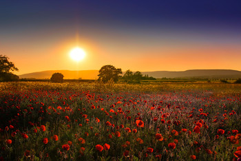 Mohnfeld im Sonnenuntergang / Landscape