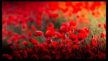 Red beauty / Mohnfeld