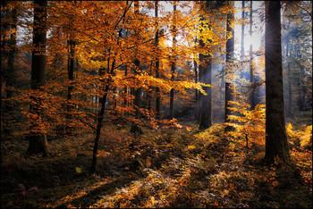 Goldener Herbst / Buchenwald
