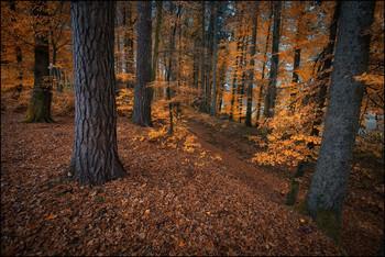 Herbstfarben / Buchen