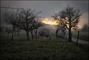 Pferde im Nebel / Weide